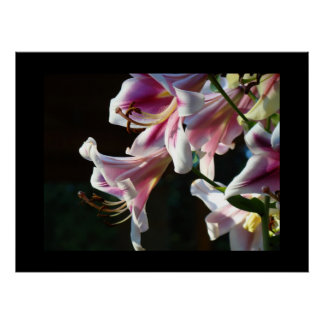 Bright Pink White Lily Flowers art prints Canvas Posters