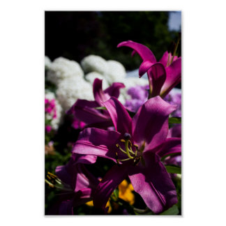 Bright purple lily flower poster