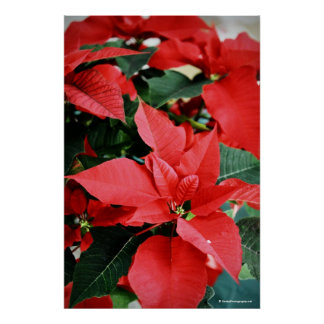 Bright Red Christmas Poinsettia Poster