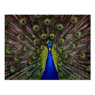 Bright regal peacock photo postcard