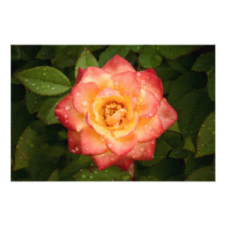 Bright Rose Photo Print