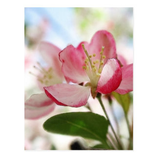 Bright Spring Apple Blossoms Postcard