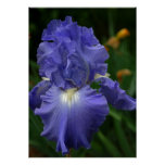 Brilliant Purple Iris Flower Poster