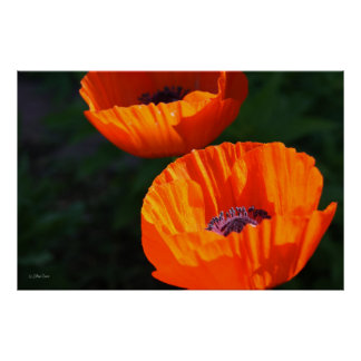 Brilliant Red Poppies Poster