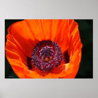 Brilliant Red Poppy Detail Poster