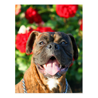 Brindle boxer dog Postcard