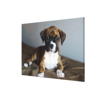 Brindle Boxer Puppy Gallery Wrapped Canvas