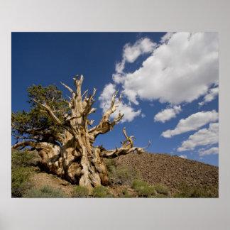 Bristlecone pine in Ancient Bristlecone Forest, Poster
