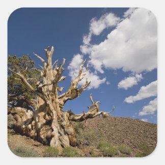 Bristlecone pine in Ancient Bristlecone Forest, Square Sticker