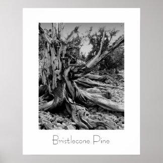 Bristlecone Pine Print