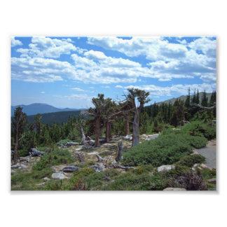 Bristlecone Pine Tree, Mount Evans, Colorado Photo Art