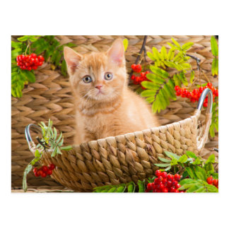 British Kitten Sitting In A Basket With Mountain Postcard