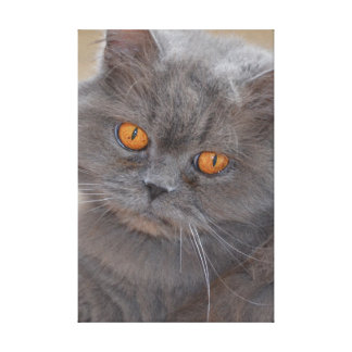 British Longhair‎ Canvas Print