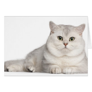 British Shorthair (2 years old) lying in front Card