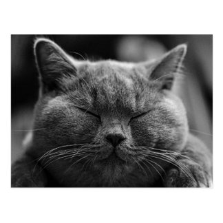 British Shorthair | Black and White | Cat Portrait Postcard