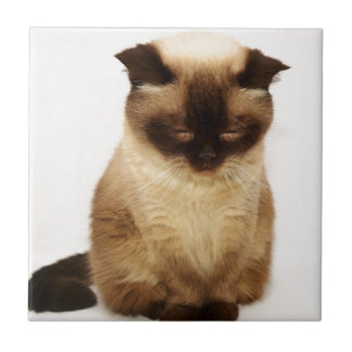 British Shorthair Cat Pet Mieze British Short Hair Tile