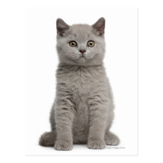 British Shorthair Kitten (10 weeks old) 2 Postcard