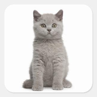 British Shorthair Kitten (10 weeks old) 2 Square Sticker
