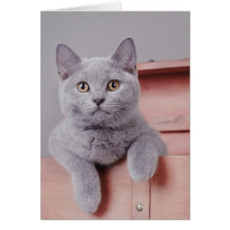 British shorthair kitten card