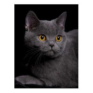 British Shorthair Postcard