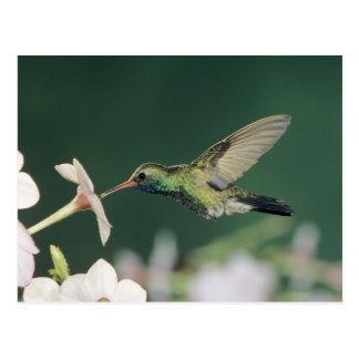 Broad-billed Hummingbird, Cynanthus latirostris, Postcard