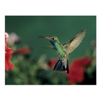 Broad-billed Hummingbird, Cynanthus Postcard