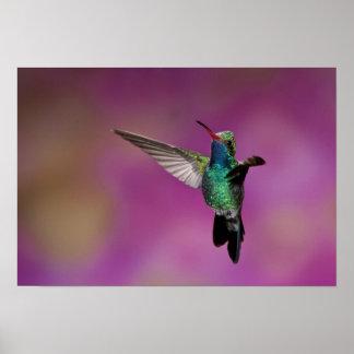 Broad-Billed Hummingbird, Cynanthus Poster