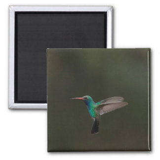 Broad-billed hummingbird in flight magnet