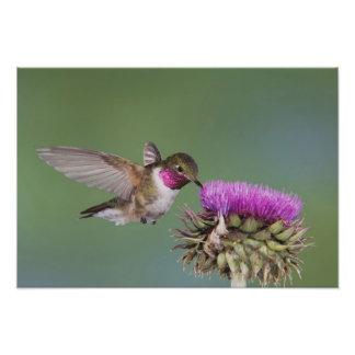 Broad-tailed Hummingbird, Selasphorus 2 Photo Print