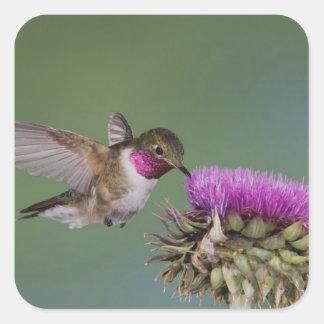 Broad-tailed Hummingbird, Selasphorus 2 Square Sticker