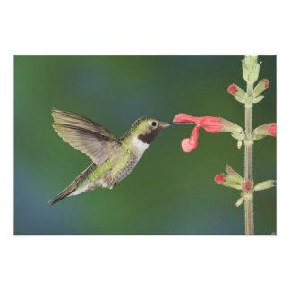 Broad-tailed Hummingbird, Selasphorus 4 Photo Print