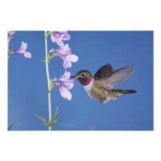 Broad-tailed Hummingbird, Selasphorus Photo