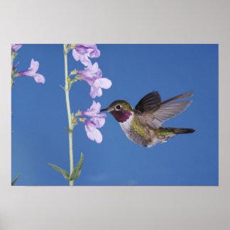 Broad-tailed Hummingbird, Selasphorus Poster