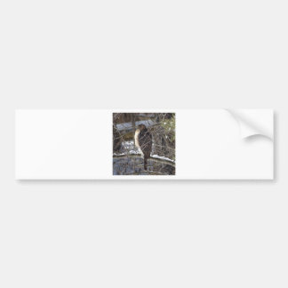 Broad-winged Hawk Bumper Sticker