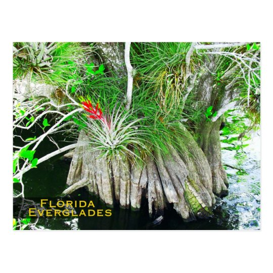 Bromeliad on Mangrove, Florida Everglades Postcard