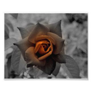 Bronze Rose at Noon Day Photo Print