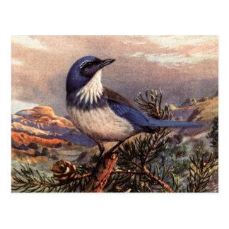 Brooks' Western Scrub-Jay Postcard