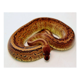 Brown Ball Python Postcard
