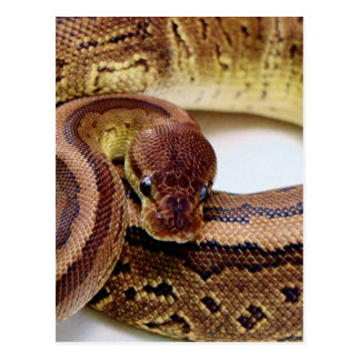 Brown Ball Python Resting Postcard