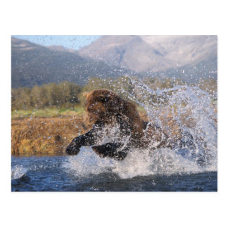 Brown bear, grizzly bear, catching pink salmon, postcard