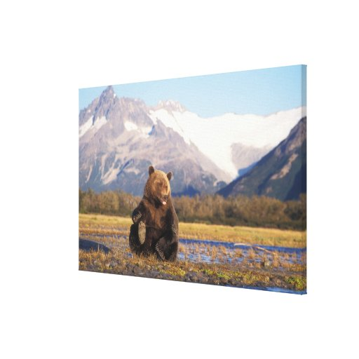 Brown bear, grizzly bear,  in riverbed with gallery wrap canvas