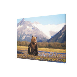 Brown bear, grizzly bear,  in riverbed with stretched canvas prints