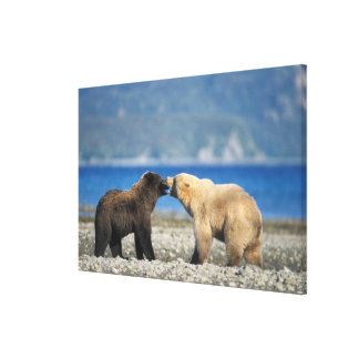 Brown bear, grizzly bear, play on the beach, canvas prints