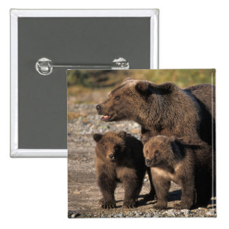 Brown bear, grizzly bear, sow with cubs looking 15 cm square badge