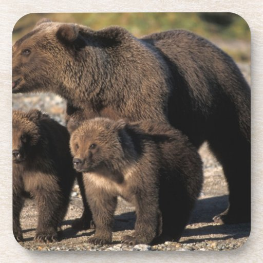 Brown bear, grizzly bear, sow with cubs looking coaster