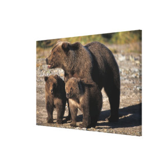 Brown bear, grizzly bear, sow with cubs looking gallery wrap canvas