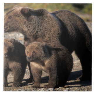 Brown bear, grizzly bear, sow with cubs looking large square tile