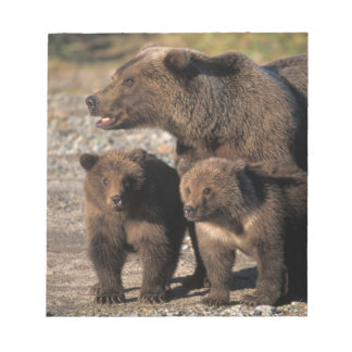 Brown bear, grizzly bear, sow with cubs looking memo note pad