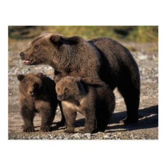 Brown bear, grizzly bear, sow with cubs looking postcard