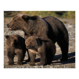 Brown bear, grizzly bear, sow with cubs looking poster